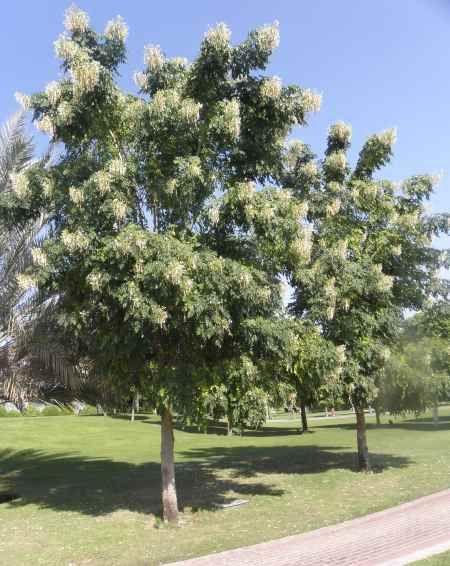 Millingtonia Hortensis 8220 Tree Jasmine شجرة الياسمين Or Indian Cork Tree 8221 Cork Tree Flowering Trees Dry Plants