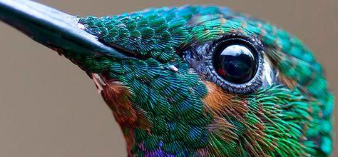 Colibri Google Search Colibri Bird Pinterest Google Search - Photographer captures amazing close up photos of hummingbirds iridescent feathers