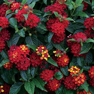 A Very Large Flowered Lantana With Blooms That Open Yellow And Orange Before Maturing To Deep Rich Red Compact Enough For Plants Lantana Hydroponic Gardening