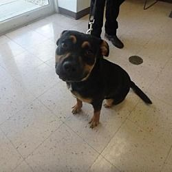 Naples Florida Rottweiler Meet Hunter A For Adoption Https