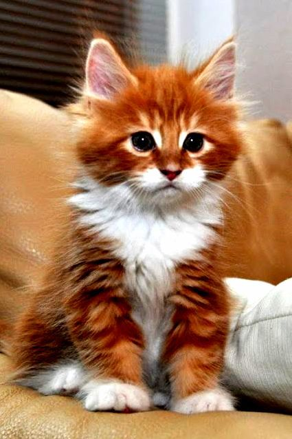 Cute cats HQ - Pictures of cute cats and kittens Free pictures of funny cats and photo of cute kittens Kittens And Puppies, Cute Cats And Kittens, Baby Cats, Cool Cats, Kittens Cutest, I Love Cats, Pretty Cats, Beautiful Cats, Animals Beautiful
