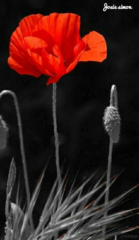 Pin Von Christine Themas Auf Fl Daring Poppy Love Mohnblume Blumen Mohn