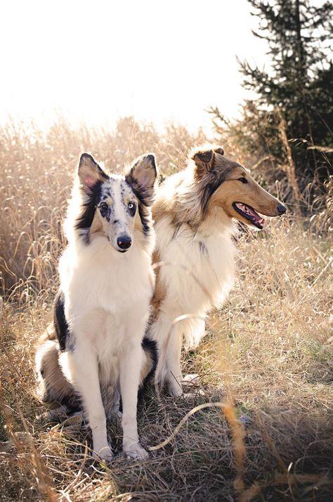 Golden Retriever Saint Bernard Mix Puppies Ready To Adopt Boys