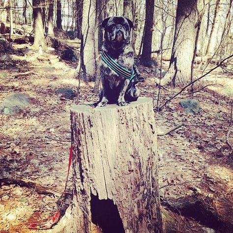 pugsofinstagram:  Wally King of the Brindle Pugs wishes you a happy Saturday!