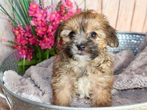 Yorkie Poo Dog Female Beige 2408447 Dogs Puppies For Sale