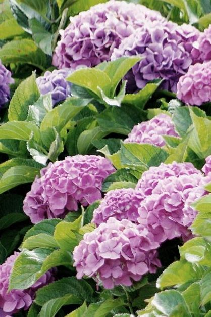 Hortensien Pflanzen Pflegen Vermehren In 2020 Pflanzen Hortensien Garten Bepflanzen