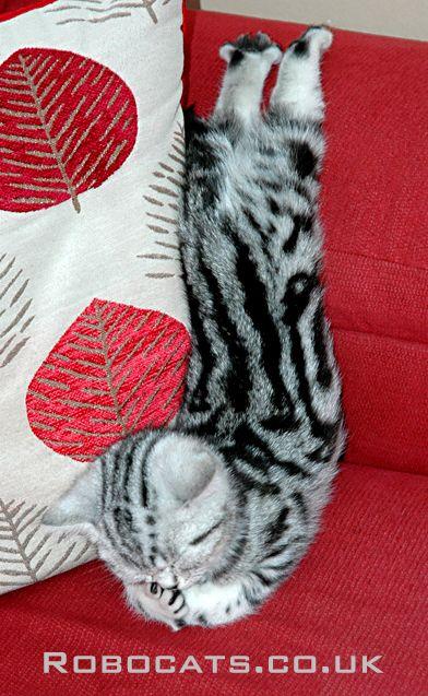 British Shorthair Silver Tabby Silver Tabby Cat Silver Tabby Kitten Tabby Kitten