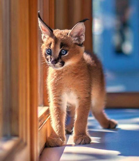 Instagram Baby Caracal Wild Animals Pictures Fur Baby Cat