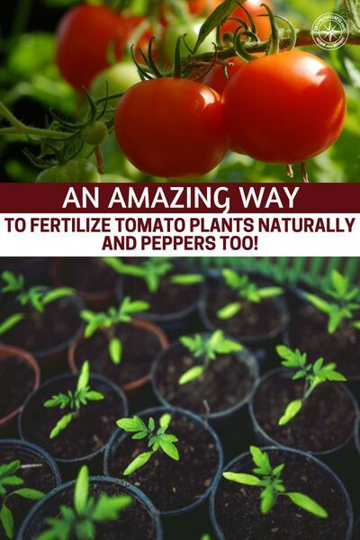 An Amazing Way To Fertilize Tomato Plants Naturally And Peppers