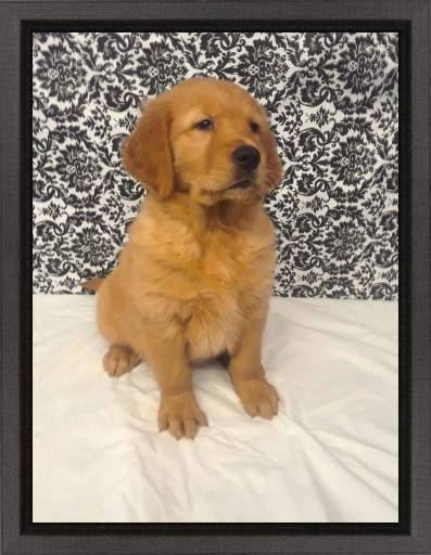 Find Your Dream Puppy Of The Right Dog Breed At Golden Retriever Retriever Puppy Puppies For Sale