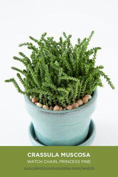Succulents Succulentidentification Crassulamuscosa Watchchain