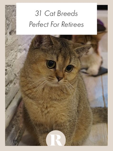 These 31 cat breeds are perfect for retirees and their lifestyle. #retired #cats