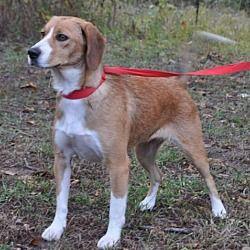 Silver Spring Md Beagle Meet Nayan A Pet For Adoption