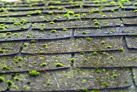 Moss Growing On Roof Shingles Roof Shingles Roof Design Shingling