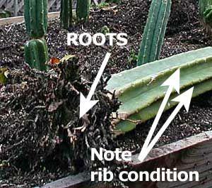 Trichocereus Pachanoi San Pedro Cactus With Images San Pedro