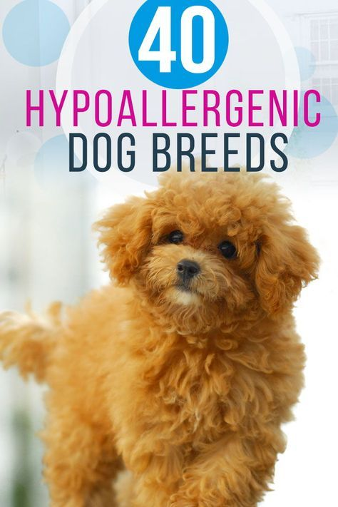 40 Dog Breeds That Don T Shed Learn All About Each And Every Hypoallergenic Non Sheddi Hypoallergenic Dog Breed Dog Breeds That Dont Shed Hyperallergenic Dogs