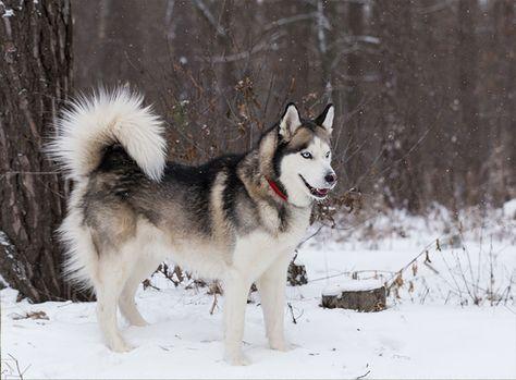 Siberian Husky Im Rasseportrait Sibirischer Husky Heiser Hunde Rassen