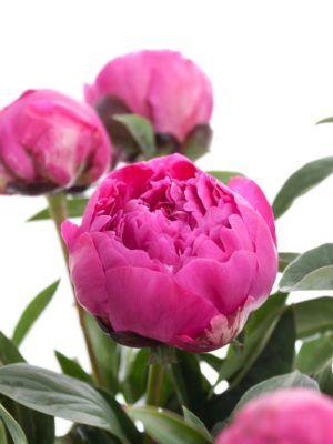 Pfingstrosen Kansas Pink Glückwünsche Blumen Online