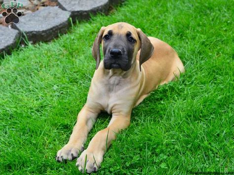 Great Dane Puppies For Sale In Pa Great Dane Puppy Puppies For