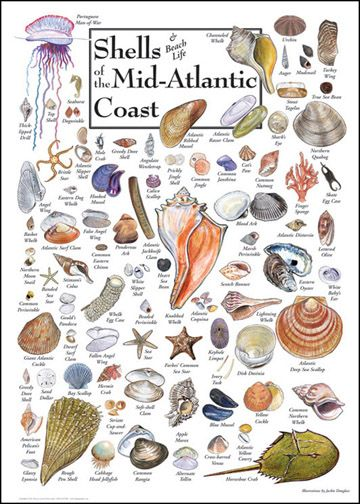 Shells & Beach Life of the Mid-Atlantic Coast...A puzzle I purchased just for the week we were all there to enjoy putting it  together.....