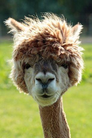 Alpaka Aus Myanmar Auch Meine Nachste Haarschnitt Inspiration Frisuren Themen Alpaka Frisuren Themen Alpakas