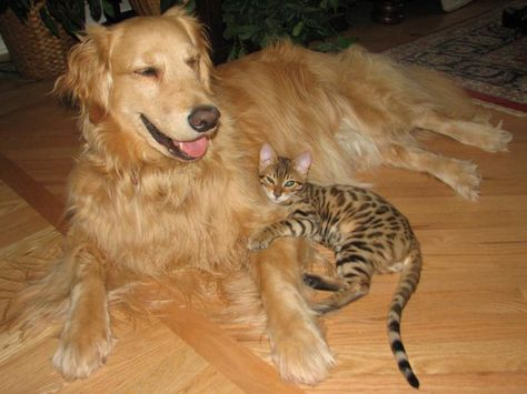 They Are Awesome With Other Pets Golden Retriever Retriever