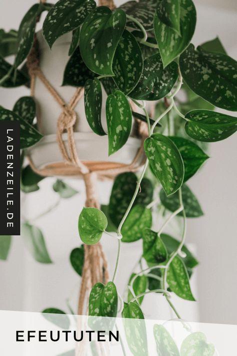Mit Efeututen verwandelst du dein Zuhause ganz einfach in einen kleinen Dschungel. Die Ranken der Zimmerpflanze sind eine schöne Deko auf Schrank oder Regal. Auch eine Blumenampel eignet sich wunderbar, um deine Efeutute in Szene zu setzen. Finde jetzt auf LadenZeile Efeututen – mit gefleckten Blättern oder einfarbig – als Deko für dein Zuhause! #efeutute #zimmerpflanzen #dekopflanzen #pflanzendeko #pflanzenampel