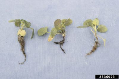 Common Diseases Of Pansies How To Treat Sick Pansy Plants Pansies Plant Diseases Little Plants
