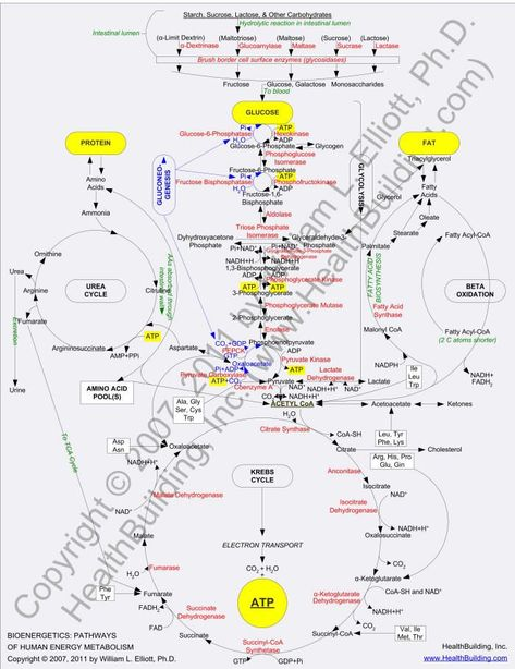 metabolism | The Bioenergetics: Pathways of Human Energy Metabolism poster can be ...