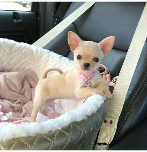 Effective Potty Training Chihuahua Consistency Is Key Ideas. Brilliant Potty Training Chihuahua Consistency Is Key Ideas. Baby Chihuahua, Baby Dogs, Funny Chihuahua, White Chihuahua, Cute Puppies, Cute Dogs, Dogs And Puppies, Doggies, Cute Baby Animals