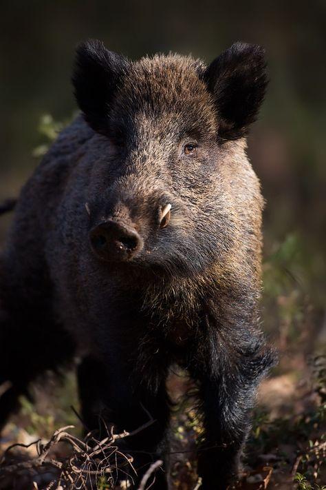 Superb Wildschweinkeiler im Portraet Schwarzkittel Wildschwein Sus scrofa Wild Boar tusker in portrait Wild Boar Feral Pig Pinterest Wild boar