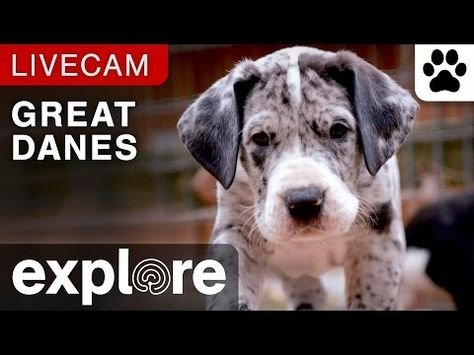 Service Dog Project Great Danes Explore Org Service Dog