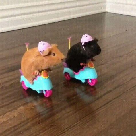 Biker Guinea Pigs via Classy Bro Cute Animal Memes, Animal Jokes, Cute Memes, Cute Funny Animals, Baby Animals Pictures, Cute Animal Photos, Funny Animal Pictures, Baby Animals Super Cute, Cute Little Animals