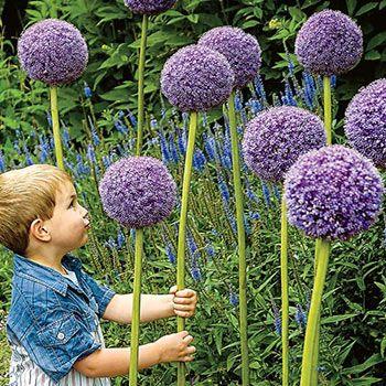Allium Gladiator Breck S Premium Bulbs Bulb Flowers Planting