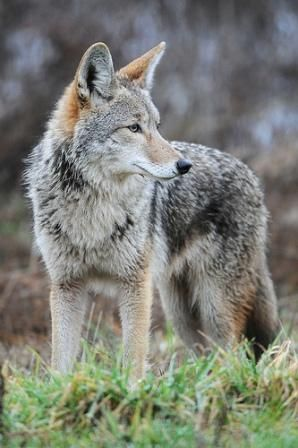 Next is the Western coyote, Canis latrans. This animal is also known as the American jackal or prairie wolf,