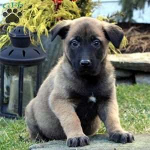 Belgian Malinois Puppies For Sale In 2020 Malinois Puppies Belgian Malinois Puppies Malinois Puppies For Sale