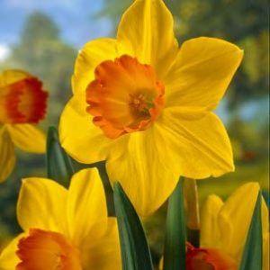 Daffodils Revelry Daffodils Plants Bulb