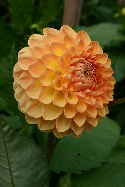 Dahlia 'Blyton Softer Gleam'