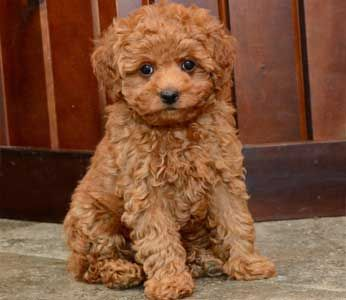 Toy Poodle Puppies By Design Online Toy Poodle Puppies Toy Poodle