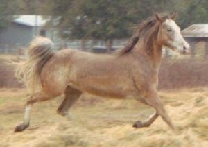 Appy Is An Adoptable Appaloosa Horse In Lake Panasoffkee Fl Appy Is A 12 14yr Old 14h Poa Strawb Appaloosa Horses Horses Australian Cattle Dog Blue Heeler
