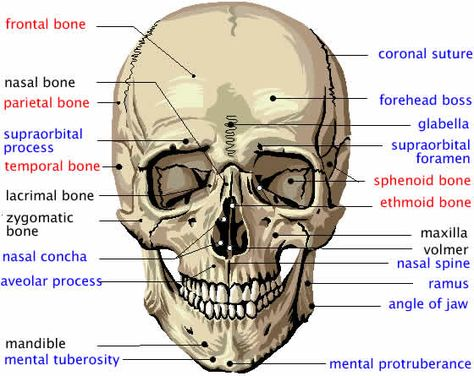Parts of the Human Skull - Biology101 Study Guide | Nursing 101 ...