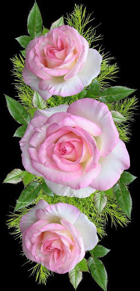 Https Www Facebook Com Roses Paiya Photos A 380179612112744 1569769169820443 Type 3 Theater Beautiful Flowers Beautiful Rose Flowers Rose Flower Wallpaper Fantastic rose flower wallpaper