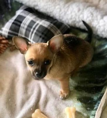 Colorado Springs Co Puppy Chihuahua Meet Cisco A Dog For Adoption Pets Puppies Pet Adoption