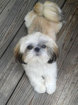Wilber Shih Tzu Puppy For Sale From Jonestown Pa Greenfield