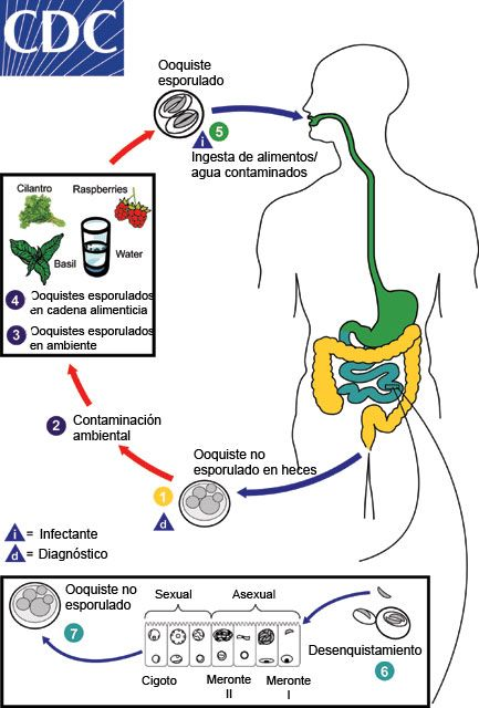 cryptosporidium ciclo biologico