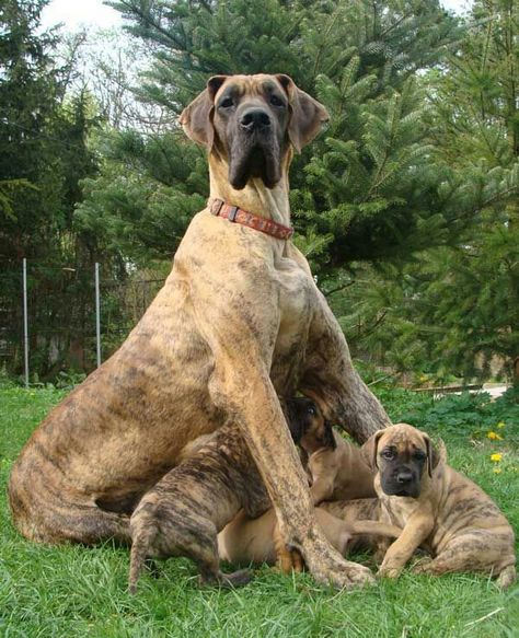 Great Dane and puppies