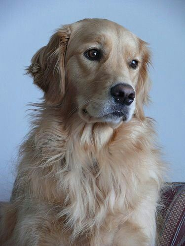 Pin By Kworley On Our Dogs Dogs Golden Retriever Dogs