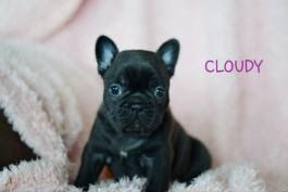 Puppies For Sale Buckeye Puppies Free Cleveland Ohio Pets Ads To Buy Sell Dogs Cats Blue Tan French Bulldog Puppies Bulldog Puppies Bulldog Puppies For Sale