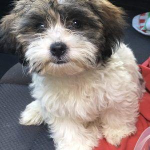 Malti Poo Puppies For Sale In Michigan Michigan Puppy In 2020 Puppies For Sale Puppies Maltipoo Puppy