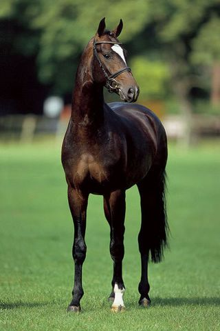 Sir Donnerhall - 2001 Oldenburg Dressage Stallion (Sandro Hit - Donnerhall…